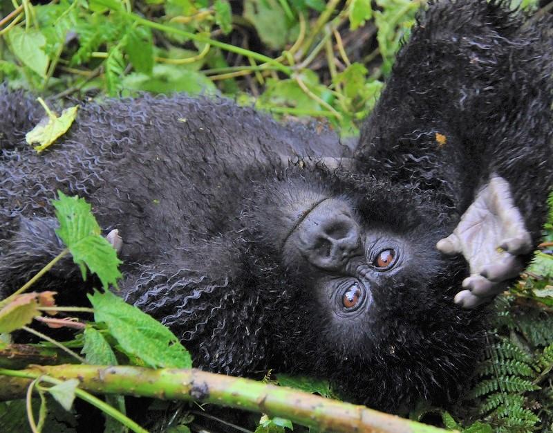 ~マウンテンゴリラ&チンパンジートレッキング、クイーンエリザベスNPでサファリ!~アフリカの真珠ウガンダ・ハイライト 8日間 <カード決済OK>